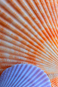 Scallop Seashell Pattern