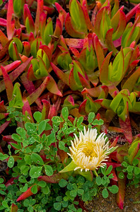 Coastal Iceplant and Flower