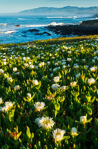 Flowering Ice Plant at Coast