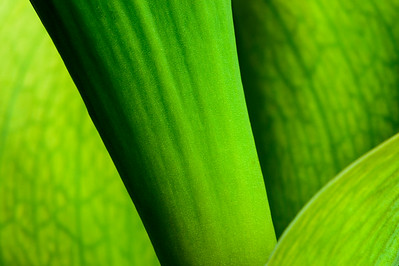 Tulip_Stem_Leaves_Pattern_KKD9751