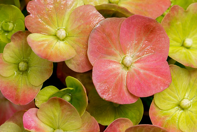Hydrangea_Close-up_1_DAK3599