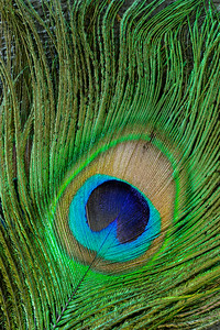 Peacock Feather - Macro