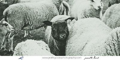 Lambs | Sheep | Travel Photography