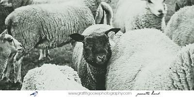 Lambs | Sheep | Travel Photography