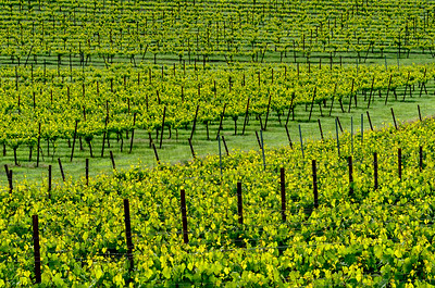 Vineyard Pattern #1