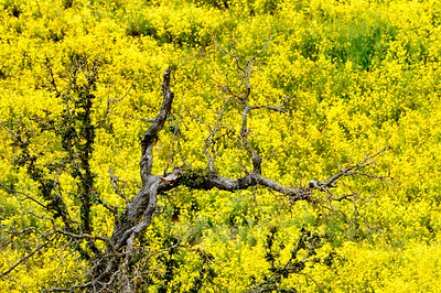 Gnarled_Tree_Wildflowers_near_Carrizo_KKD9412