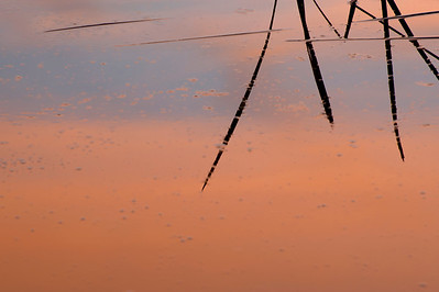 Pond Reeds at Sunset 2