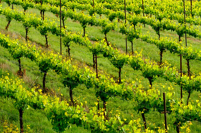 Vineyard Pattern #2