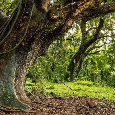 Trees, Honolua Bay