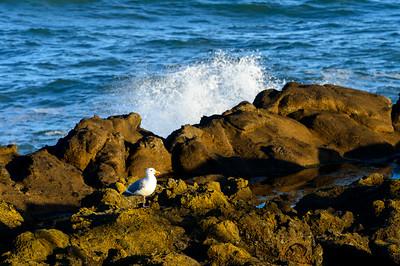 Gull_Rocky_Shoreline_2_DDK0365