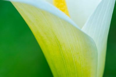 Calla Lily Close-up -- Horizontal Version