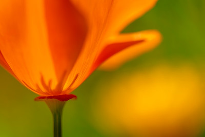 Poppy_Macro_Backlight_1_KDA2157