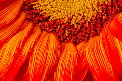 Red_Sunflower_2_KKD5929