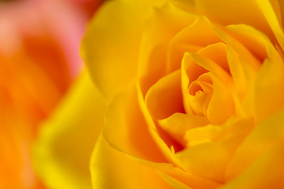 Roses_Close-up_1_KKD5968