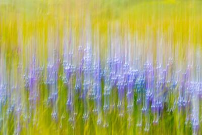 Impressionistic_Wildflowers_Lupine_Etc _DAK7885