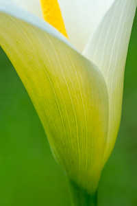 Calla Lily Close-up -- Vertical Version