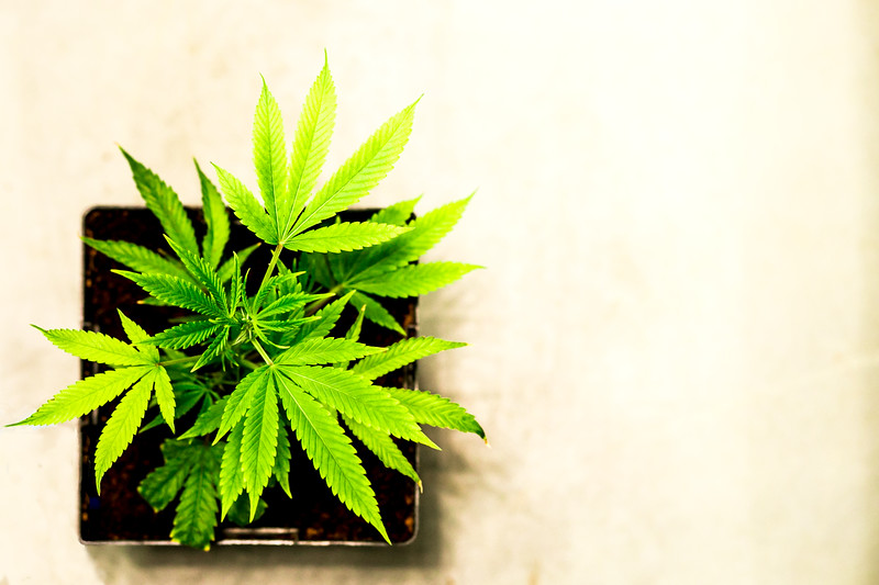 Young Seedling | Weed; Bud; Cannabis; Marijuana Prints, Posters, Postcards, Phone Cases & Stoner Gifts