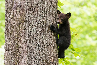 Little Bear/ Big Tree