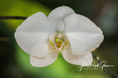 """Dainty"" — Moth Orchid"