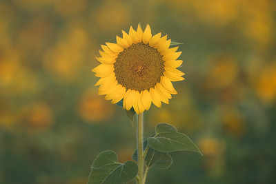 Gone are the Sunflowers
