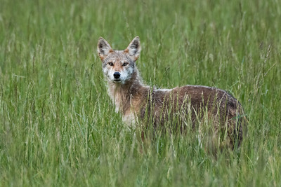 Wylie Coyote