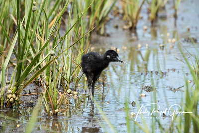 Clapper Rail Chick