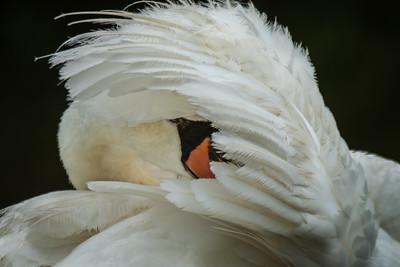 Duck, Duck, Swan