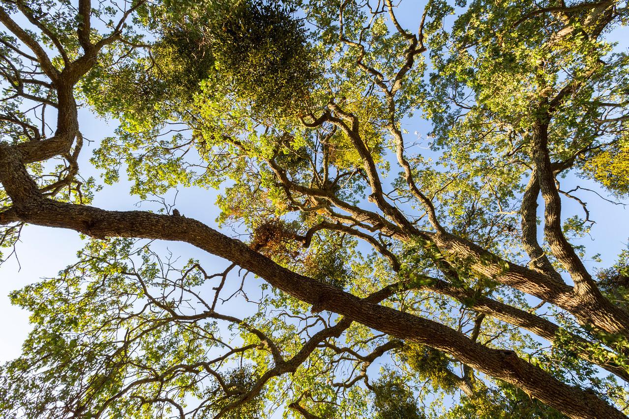 Tree.  Pleasanton Ridge Regional Park - Sunol, CA, USA