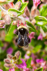 Macro of bumblebee and flower. Government House. Victoria, BC, Canada