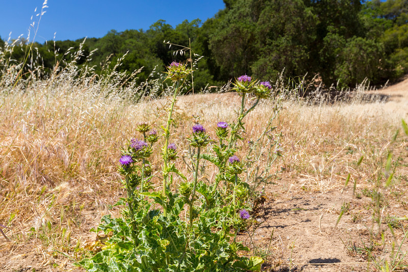 Milk Thistle (Silybum marianum). Pleasanton Ridge Regional Park - Sunol, CA, USA