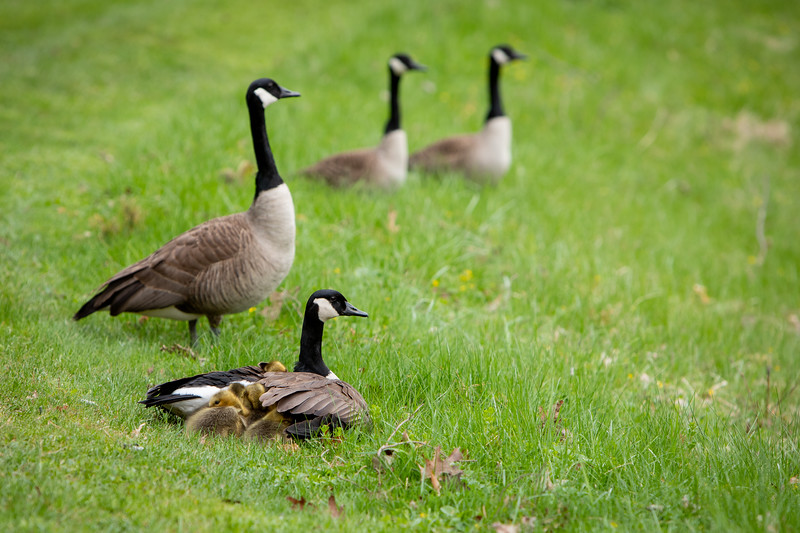 Geese, including some goslings, along the bike path near the Ellicott Complex on North Campus in May 2020.<br /> <br /> Photographer: Meredith Forrest Kulwicki