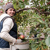 JOED VIERA/STAFF PHOTOGRAPHER-Appleton, NY-Raymundo Reyes picks apples at a Singer Bittner Orchard in November.