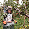 JOED VIERA/STAFF PHOTOGRAPHER-Appleton, NY-Jose Jesus Reyes walks to dump apples in his picking bucket at a Singer Bittner Orchard in November.