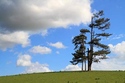 Single tree standing alone in a field on a hill