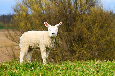 A cute lamb standing on a hill