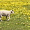 17208064 - young lamb walking in a meadow of yellow flowers on a spring day