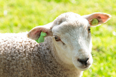 Cute wooly lamb looking while standing in a field