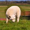 New born lamb grazing