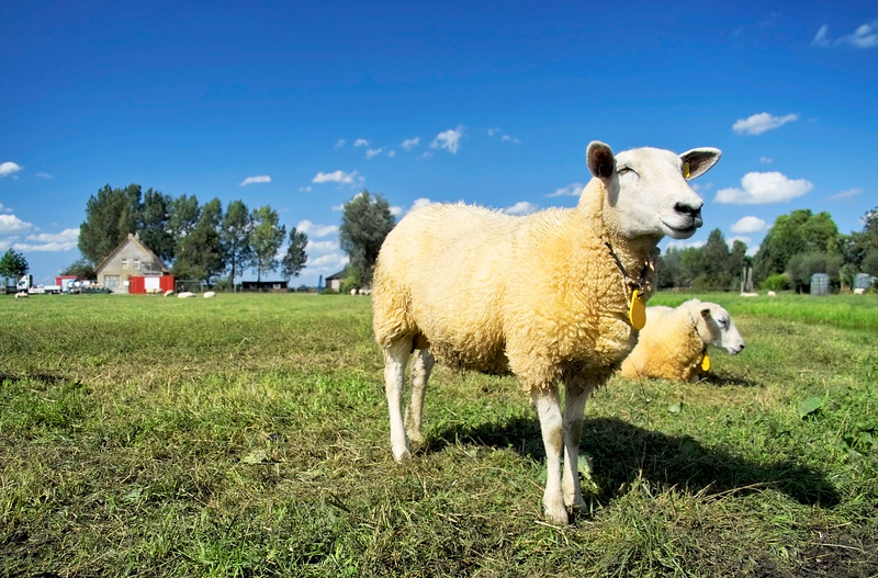 30621480 - lamb standing in a green field waiting