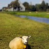 6182124 - a lonely sheep sitting in a field