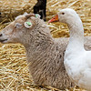 60966698 - sheep and geese together in a stable on a bed of straw