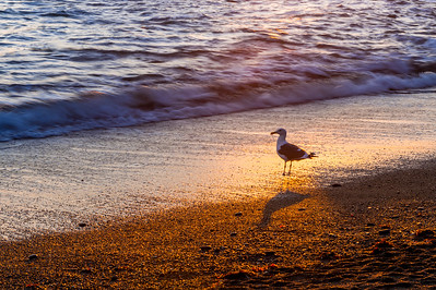 Seagull & Coastal Beach at Sunset