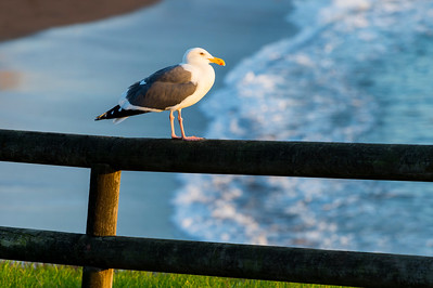 Seagull in Late-Day Sunlight
