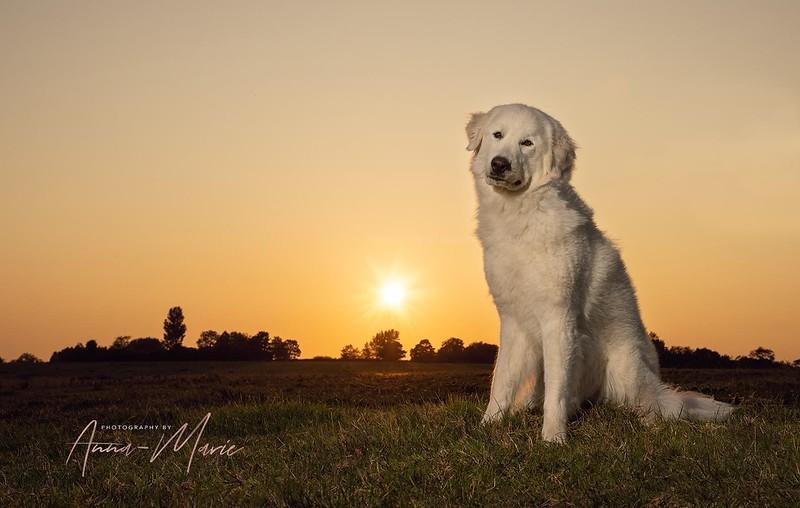 Dog Photography at Sunset
