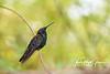 """""""Mango Hummingbird in Jamaica"""""""