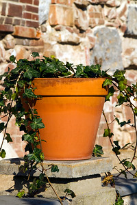 Ivy growing in a terracotta pot