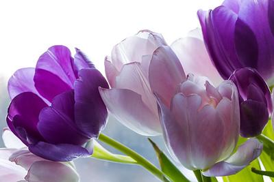 Purple & Pink Tulips