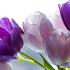 Purple & Pink Tulips