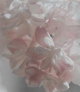 Soft lilacs