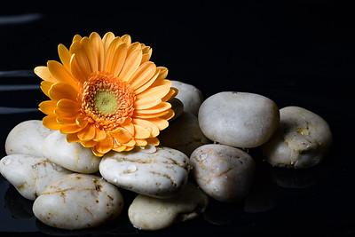 Golden Gerber Daisy